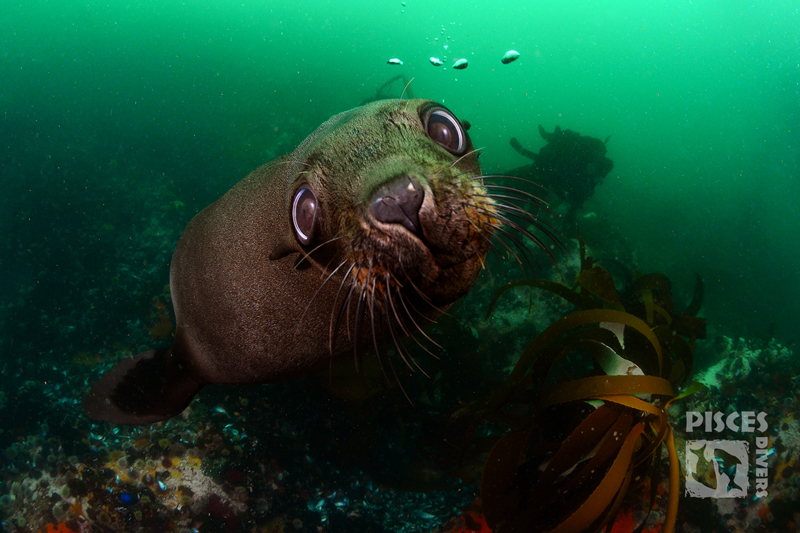 seal-snorkelling-pisces-divers